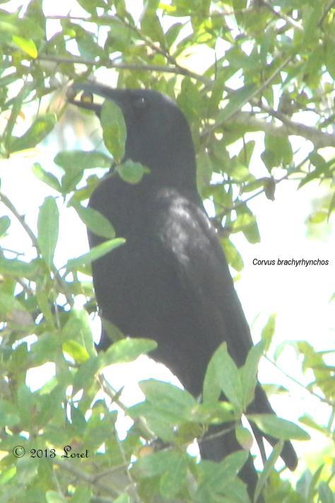From October 2013: American Crow (Corvus brachyrhynchos)